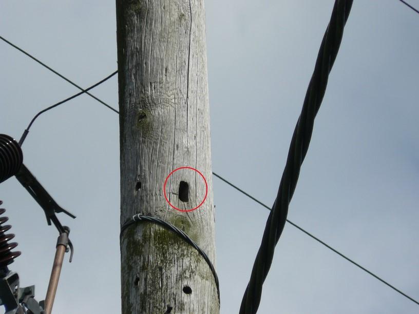 Birds Nest in Power Pole